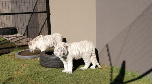 SPCA finds tiger cubs kept at Sandton home