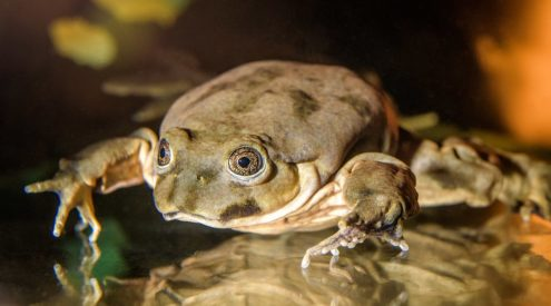 Experts unite to save endangered 'scrotum frog'