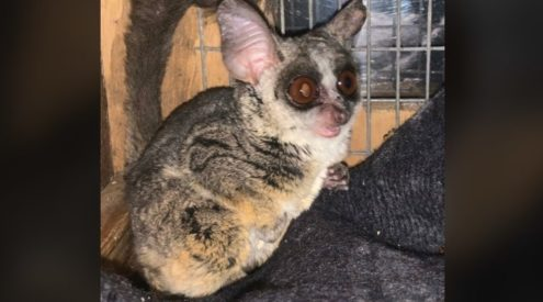 Bushbaby rescued from illegal sale