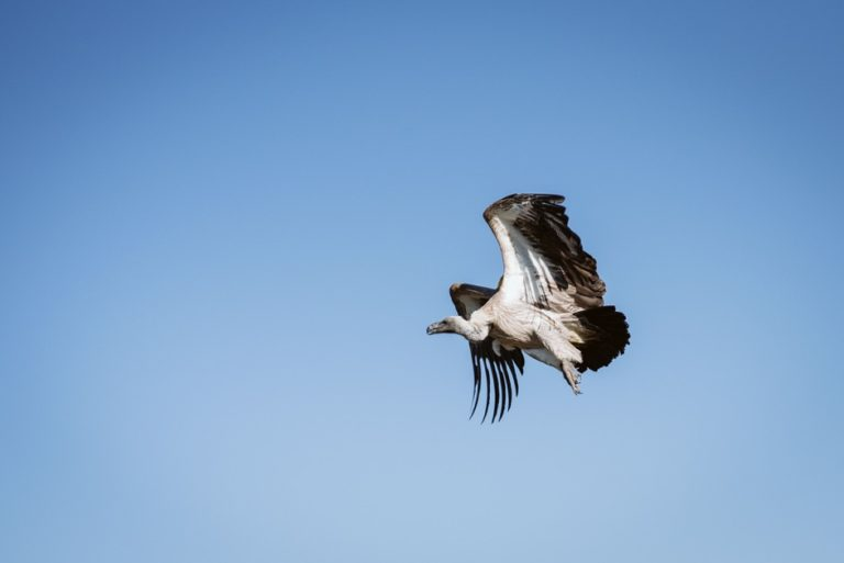 GPS tracking helps identify threats to endangered vultures