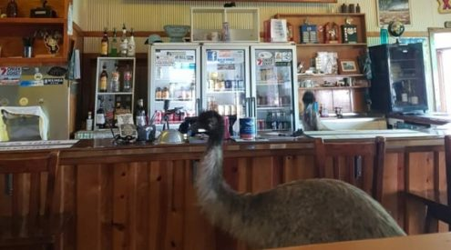 Emus banned from Australian hotel due to fowl behaviour
