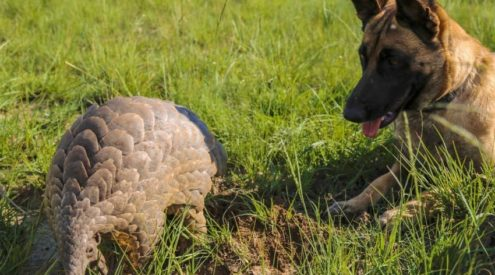 Havoc is Africa's first pangolin-detection dog