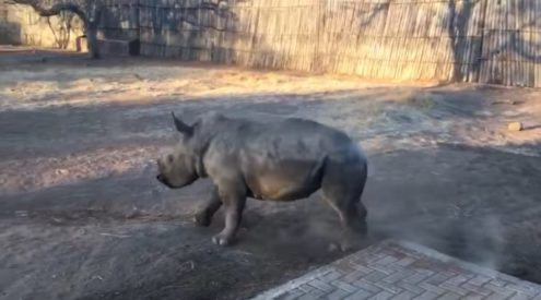 Baby rhino Kolisi dances for joy
