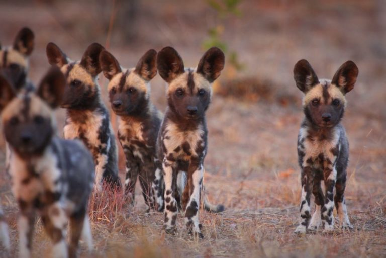 Help collar the wild dogs of the Waterberg
