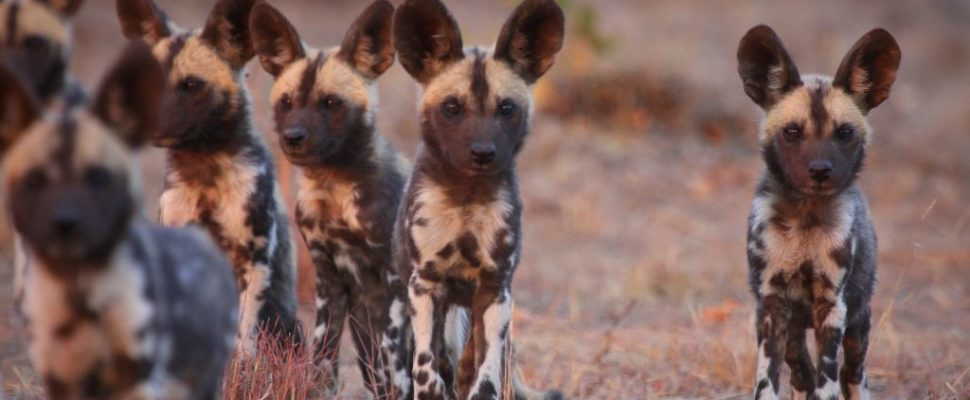 Artists from across the world rally for African Painted Dog conservation