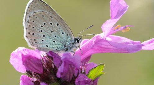 Large blue butterflies reintroduced in UK