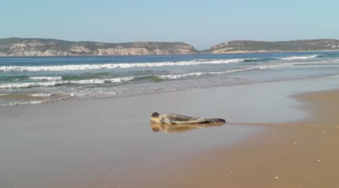 Leopard seal spotted on Robberg Beach
