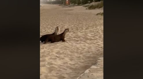 Cape clawless otters enjoy a day on the beach