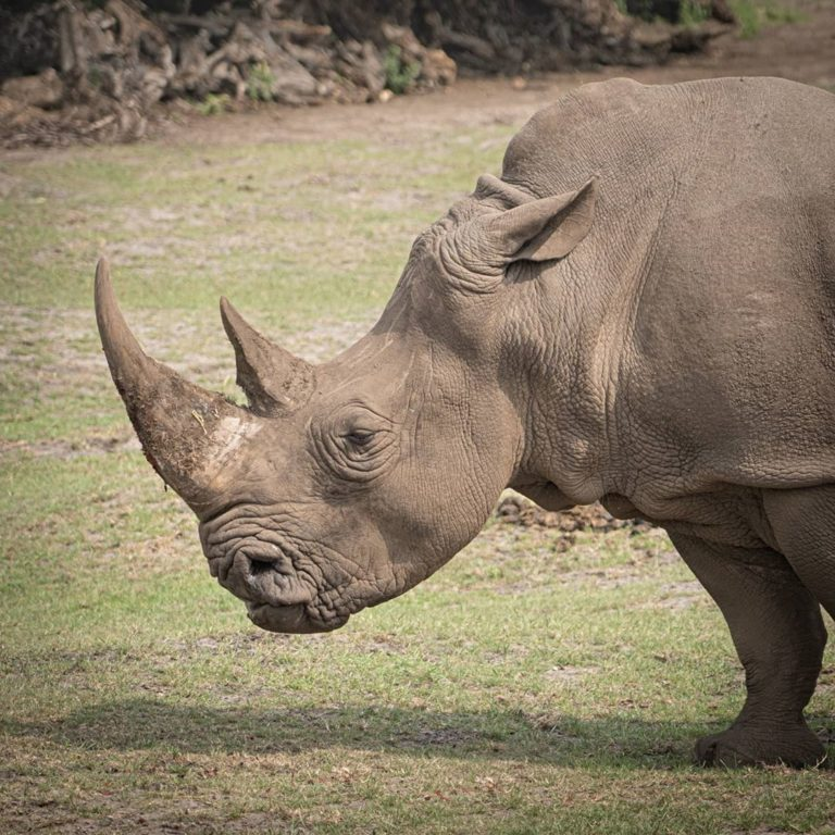 A new population of Northern White rhino in production