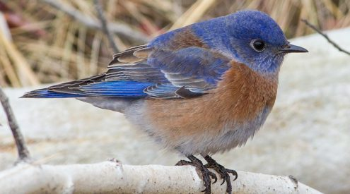 Unexplained mass deaths of songbirds in New Mexico