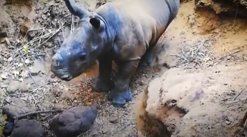 Rhino calf rescued from gully in Hluhluwe-iMfolozi Park
