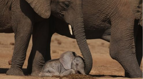 Incredible pictures of newborn elephant calf