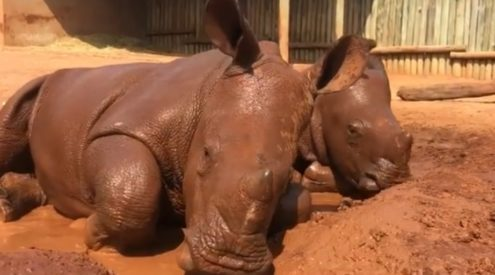 Rhino calves get mud bath 'spa day'