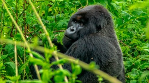 World Gorilla Day highlights the plight of these great apes