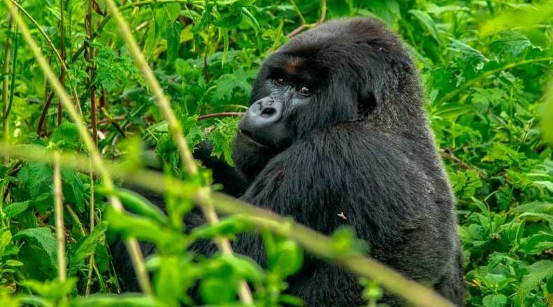 World Gorilla Day highlights the plight of great apes