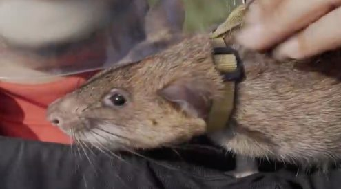 Mine-detecting rat wins PDSA gold medal
