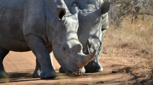 Rhino poaching drops during lockdown