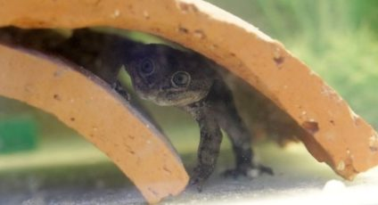 Rescued endangered Loa frogs spawn 200 tadpoles