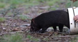 Tasmanian devils reintroduced to Australia after 3,000 years