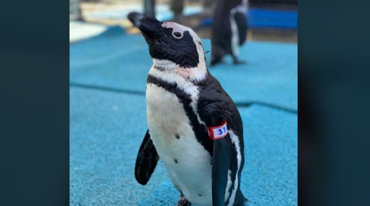 Watch a penguin release on African Penguin Awareness Day