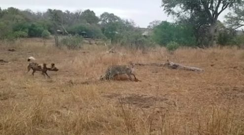 Leopard, wild dog and hyena compete for impala ram