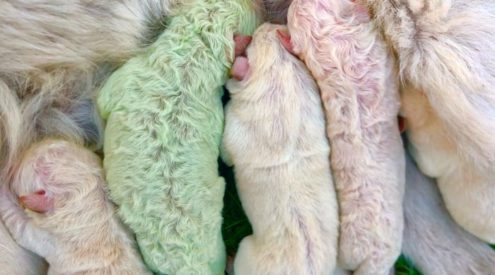 Puppy with green fur named Pistachio born in Italy