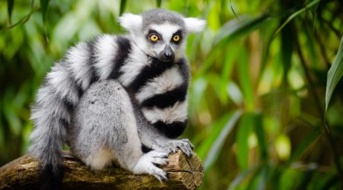 Lemur stolen from zoo recovered by 5-year-old