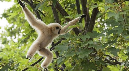 Rope bridge helps world's rarest primate move freely