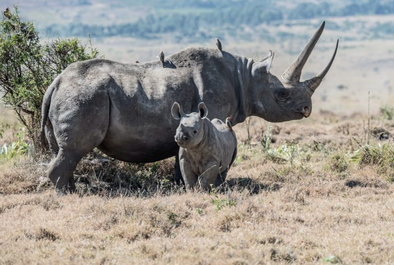 Unique Horn Project aims to save critically endangered black rhino