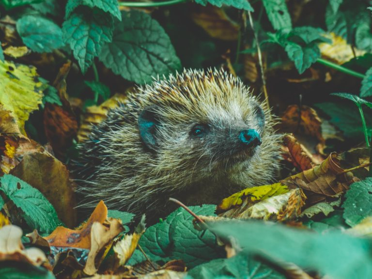 Gauteng urged to watch out for hedgehogs