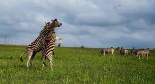 Zebra fight captured in Rietvlei Nature Reserve