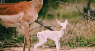 Albino newborn impala sighted in Kruger National Park