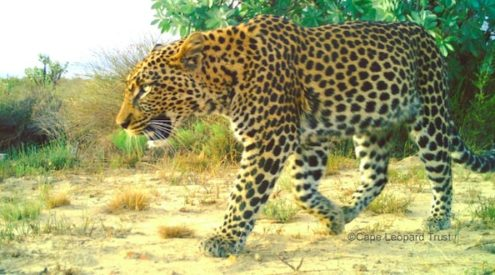 Cape Leopard Trust launches Western Cape database project