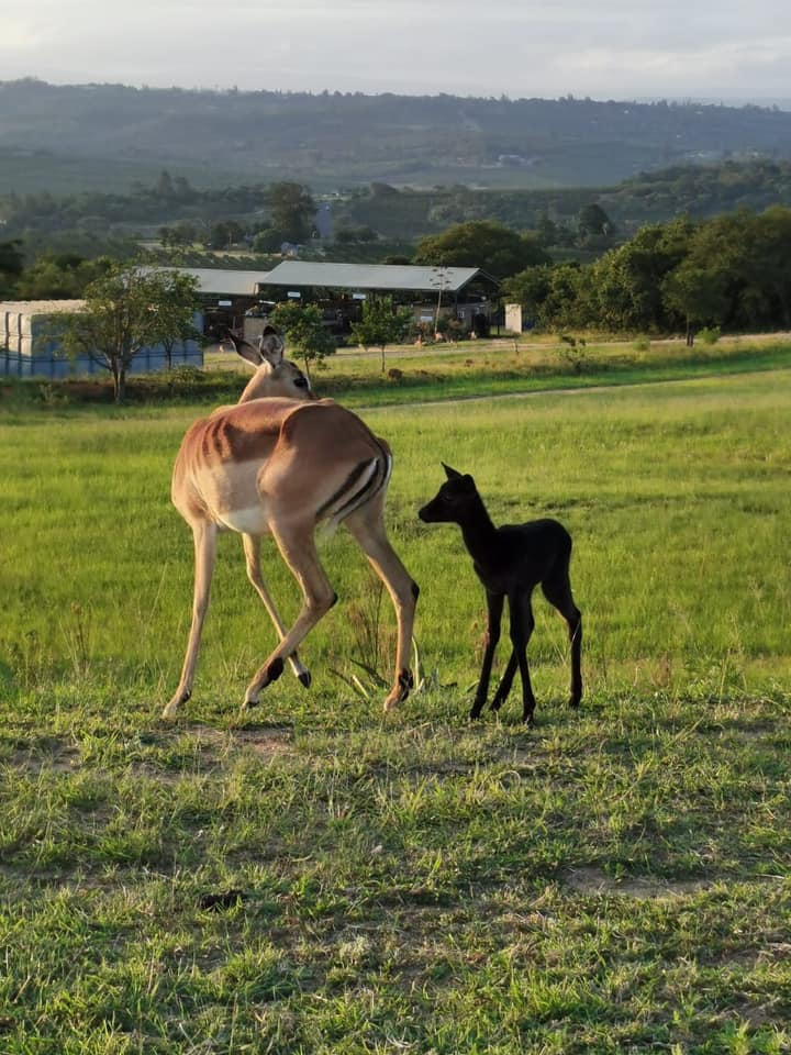 Kruger International Airport welcomes black impala to resident herd