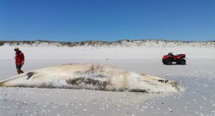 Humpback whale carcass discovered on Yzerfontein beach