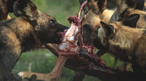 Hyenas chase wild dogs through lodge to steal kill