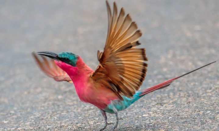 Southern carmine bee-eaters show off in Kruger National Park