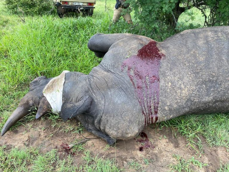 Rhino shot by poachers in Kruger on his way to recovery