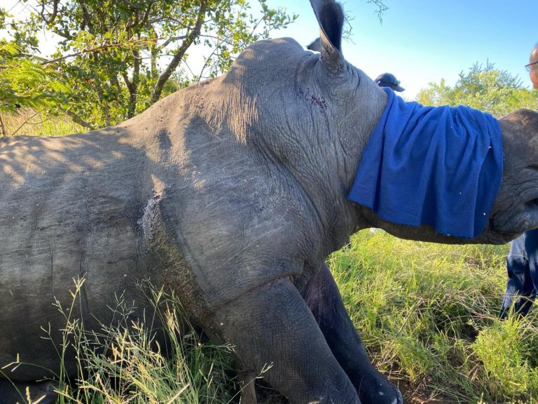 Rhino shot by poachers makes remarkable recovery