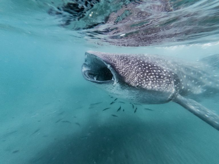 Manta rays and whale sharks now protected in Mozambique