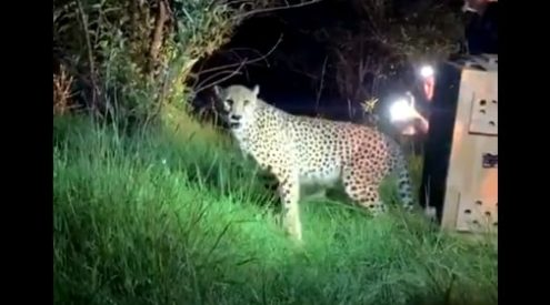 Cheetahs reintroduced to Zambia's Bangweulu Wetlands after century