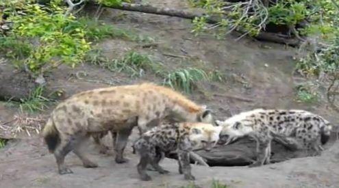 Hyena mother spotted playing with adorable cubs in KNP
