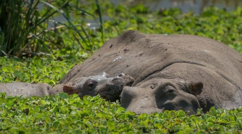 Newborn hippo calf in Kruger National Park takes first steps