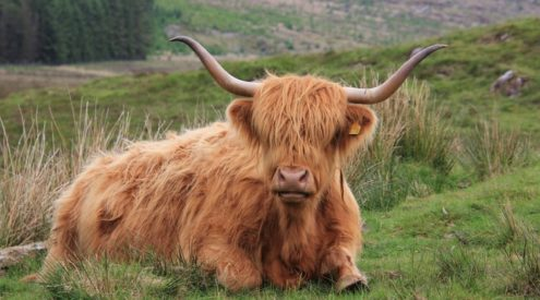 'Coo Cam' lets you spy on Scotland's Highland cows