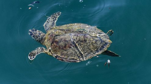 Rescuers in Israel use mayonnaise to clean tar off turtles