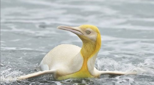 Yellow penguin spotted in South Atlantic