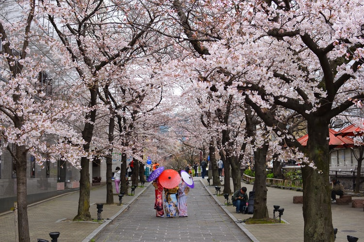 An early cherry blossom explosion in Japan