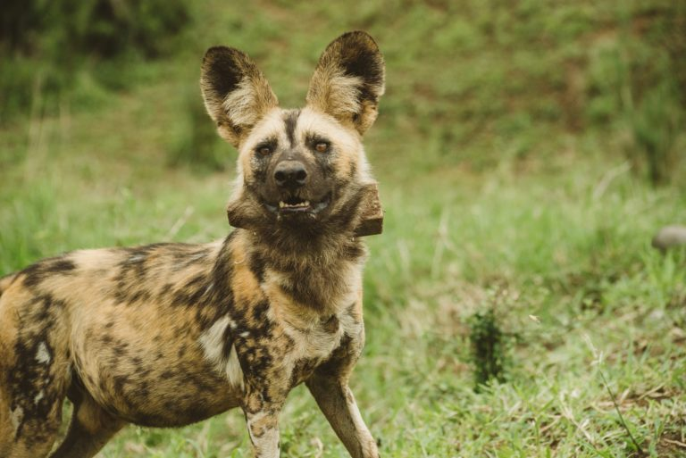 Ezemvelo KZN Wildlife protects the endangered African painted dogs