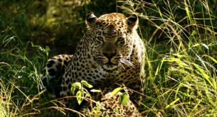 Unusual sighting of male leopard mating with two females