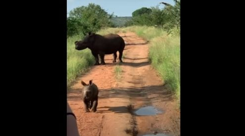 Rhino calf warms hearts trying to run away from mom
